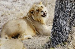 Lion, South Africa. Lion snarling, South Africa Royalty Free Stock Photo