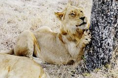 Lion, South Africa. Lion snarling, South Africa Royalty Free Stock Photography
