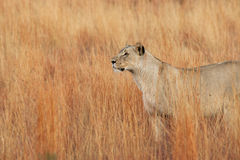 The lion in South Africa Royalty Free Stock Images