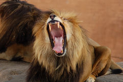 Lion in South Africa. A male African lion roar, jaws wide open royalty free stock images