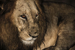 Lion in South Africa Royalty Free Stock Photography