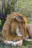 lion Sovande konung av fän mara masai Royaltyfri Foto
