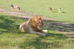 Lion Squatter Stock Images