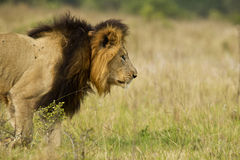 Lion stalking. Male lion staking some prey with its head low to the ground Royalty Free Stock Photos