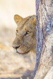 Lion standing behind tree in Africa Stock Photos