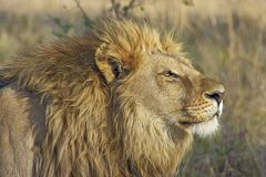 Lion Standing on Brown Bushes Stock Photos