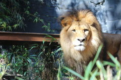 A Lion. Standing confidently amongst the trees royalty free stock photo