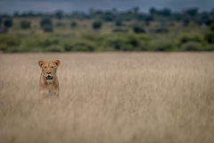 Lion standing in the high grass. Royalty Free Stock Photo