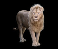 Lion standing and looking at camera isolated at black Stock Images
