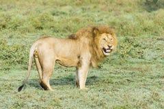 Lion Stock Image
