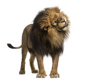 Lion standing, roaring, Panthera Leo, 10 years old, isolated on Stock Photography