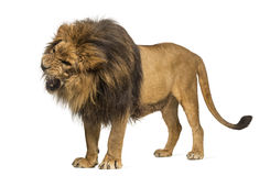 Lion standing, roaring, Panthera Leo, 10 years old, isolated on Royalty Free Stock Images