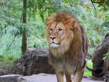 Lion standing on the rock - portrait Royalty Free Stock Images