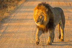 Lion walking. Front view of a Lion at sunrise, Panthera Leo, Kruger National Park, near Satara Camp, South Africa Royalty Free Stock Photography