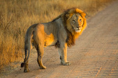 Standing Lion Stock Images