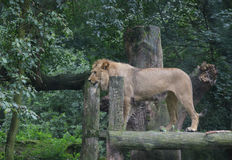 Lion standing on wood in forest Stock Photo
