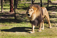 Lion Stands Scream. Big brown mane lion stands on grass roaring Stock Photos