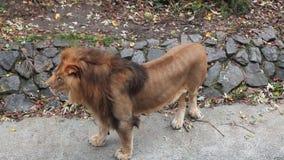 Lion Stands Then Goes banque de vidéos