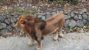 Lion Stands Then Goes stock footage