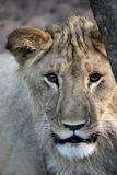 Lion Stare Stock Image