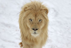 Lion Stare branco Fotos de Stock Royalty Free