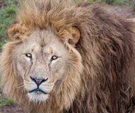 Lion stare at camera Royalty Free Stock Photos