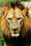 Lion stare Royalty Free Stock Image
