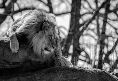 Lion Stares Right With Copy-Raum stockfotos