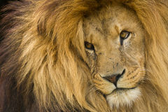 Lion Staring. Portrait of male Lion staring into distance Royalty Free Stock Photos