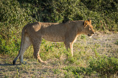 Lion staring ahead in sunshine beside bushes Royalty Free Stock Image