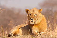 Lion staring at camera Royalty Free Stock Image