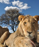 Lion staring intently Royalty Free Stock Photography