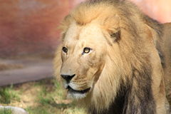 Lion. A lion staring off in front of him Stock Photography