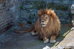 Lion staring. The old lion is resting in the corner of his cage Stock Photos