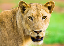 Lion staring. Wild lioness staring directly at the camera Stock Photos