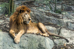 Lion staring in the zoo. While sit on the rock Stock Image