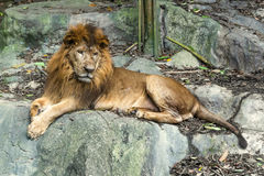 Lion staring in the zoo. While sit on the rock Stock Images