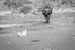 Lion starring at a Buffalo in black and white. Royalty Free Stock Image