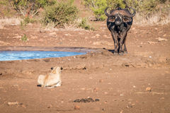 Lion starring at a Buffalo. Royalty Free Stock Photography