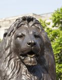 Lion statue on Trafalgar Square, London, United Kingdom. Lion statue on Trafalgar Square, close up, London, United Kingdom Stock Images