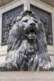 Lion Statue in Trafalgar Square. One of the iconic Lion sculptures at the base of Nelsons Column in Trafalgar Square in London, UK Stock Photo
