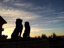 Lion status. On sun set Stock Images