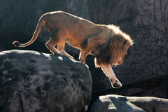 Lion Steps Down. Onto boulder at zoo Royalty Free Stock Photo