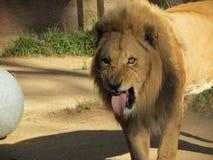 Lion Sticking sa langue photographie stock