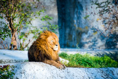 Lion on a stone Royalty Free Stock Image