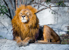 Lion on a stone Stock Photography