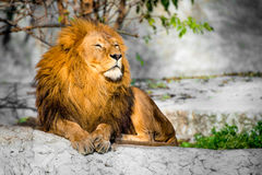 Lion on a stone Stock Images