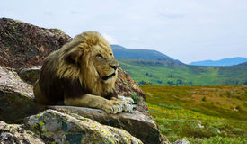 Lion on stone Stock Images