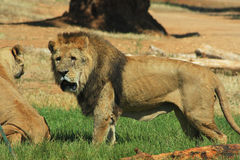 Lion stood on grass Royalty Free Stock Photos