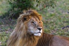 lion Stor konung av fän mara masai Arkivfoto